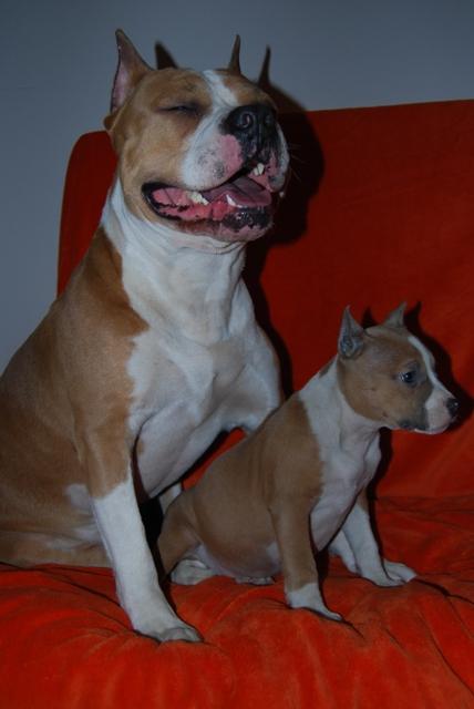 щенок стаффа фото 3 месяца
